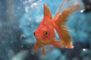 Goldfish Financial Advisor